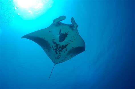 Rare Manta Ray Nursery Discovered