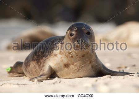 grey seal; Latin: Halichoerus grypus Stock Photo: 42013694