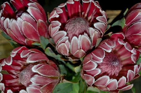 PROTEA AND LEUCADENDRON Category | Tesselaars Flower Gallery