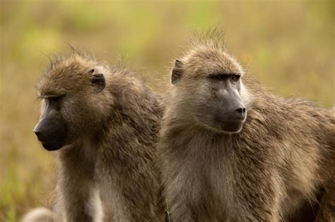 Trophy-hunting Americans kill more than 800 monkeys each year