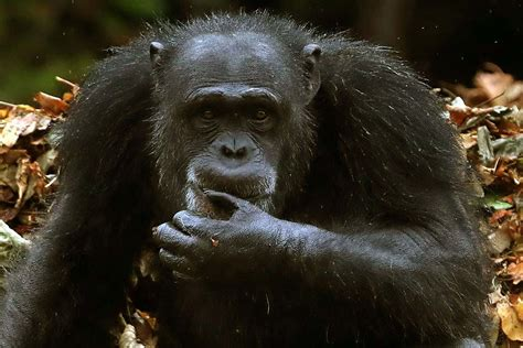 Chimp sign language and human communication follow the