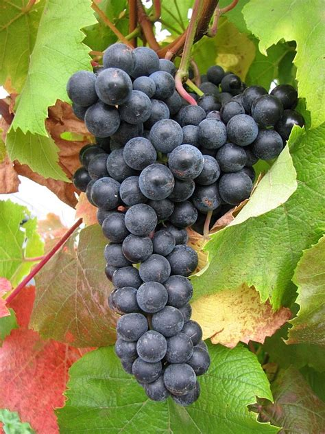 Grape Varieties Named at the New York State Agricultural