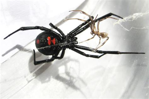 Northern Black Widow - What's That Bug?